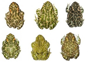 Rückenmuster verschiedener Wechselkröten