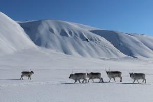 : Aus der Nähe ist es dann doch sehr deutlich, dass es sich um Rentiere, in diesem Fall Spitzbergen-Ren, und nicht Eisbären handelt.