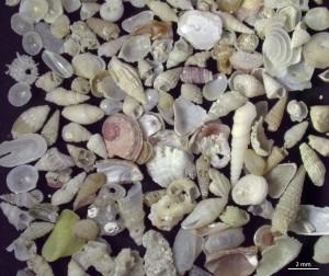 Ein Blick durchs Mikroskop offenbart die Vielfalt der Mikromollusken (hier aus einer Sandprobe aussortierte Schalen). Der Großteil der Weichtierarten im Riff wird nur wenige Millimeter groß. Foto: Jan Steger.