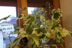 """Abutilon Pflanze mit Fotonegativen """"geschmückt"""" (© Doris Engelmeier)"""