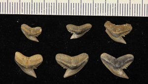 fossil record of cartilaginous fishes